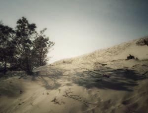 Scrub Pine Shadows